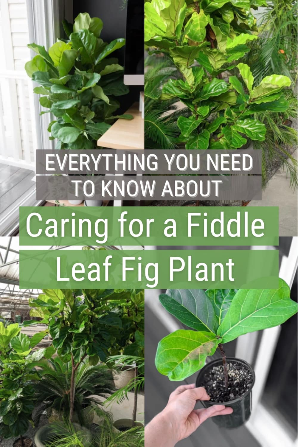 image collage of fiddle leaf fig plants with text Everyting you need to know about caring for a fiddle leaf fig plant