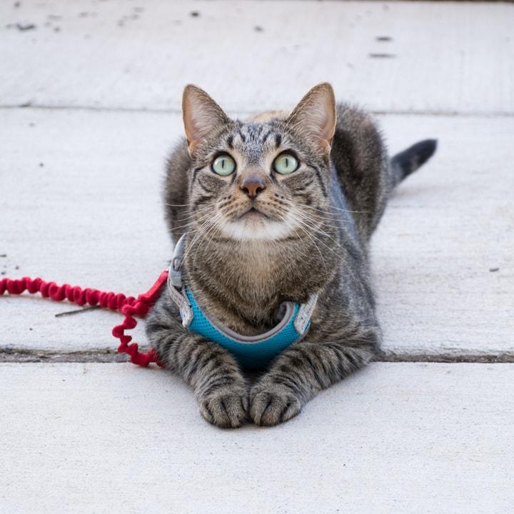 beautiful tabby cat on a leash