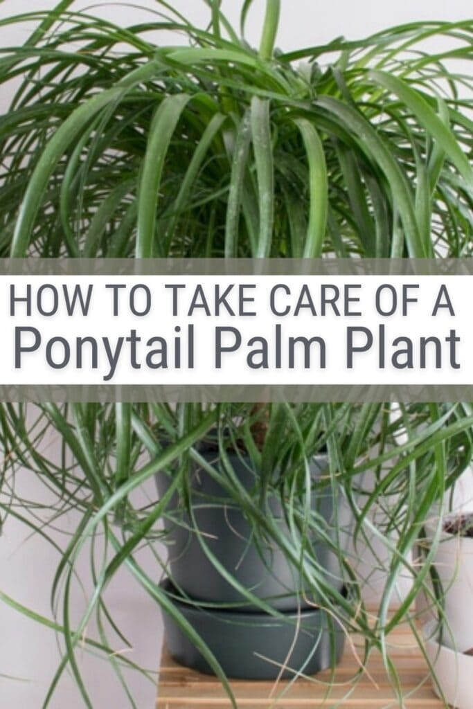Ponytail palm with text How to Take Care of A Ponytail Palm
