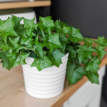 Cape Ivy Plant Care: How to Grow German Ivy