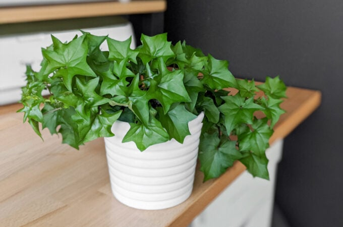 How to care for cape ivy
