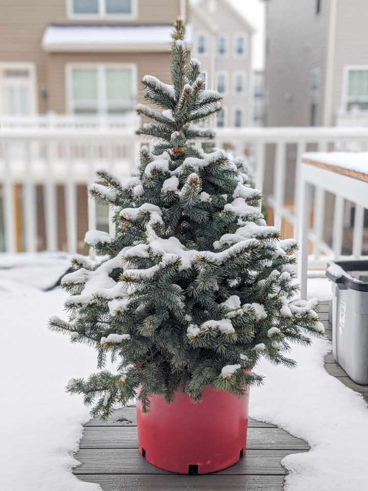 How to Take Care of a Potted Christmas Tree