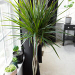 Dracaena Care: Growing Dracaena Indoors