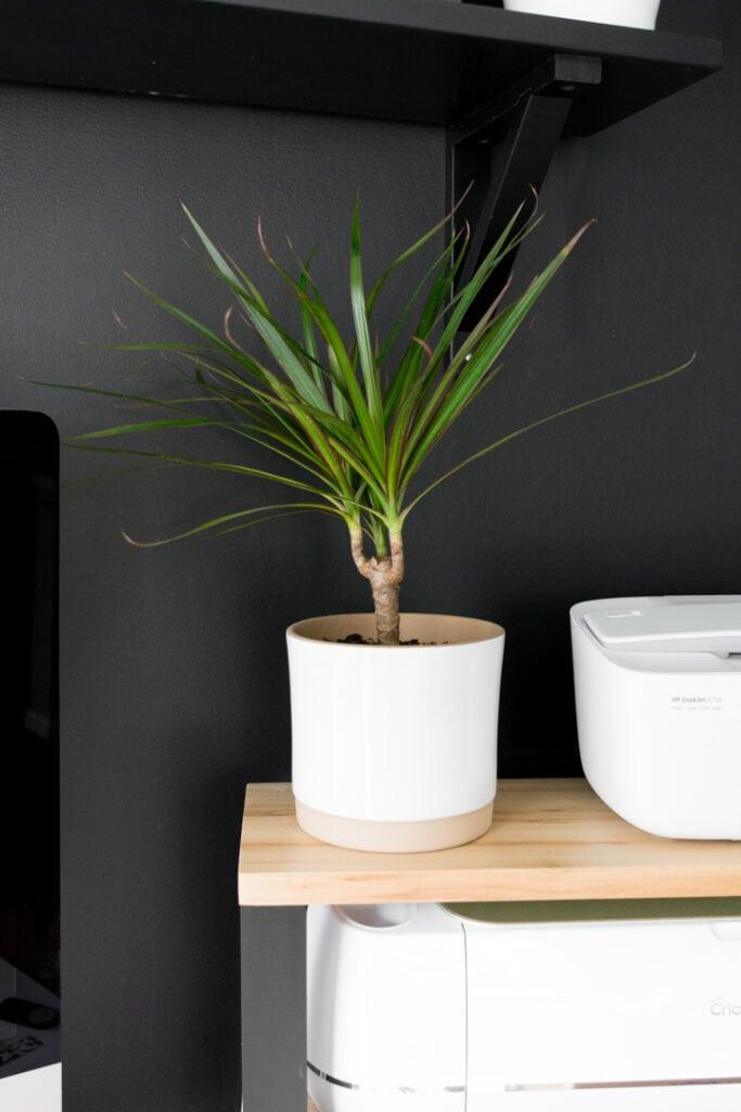 small tabletop dracaena plant