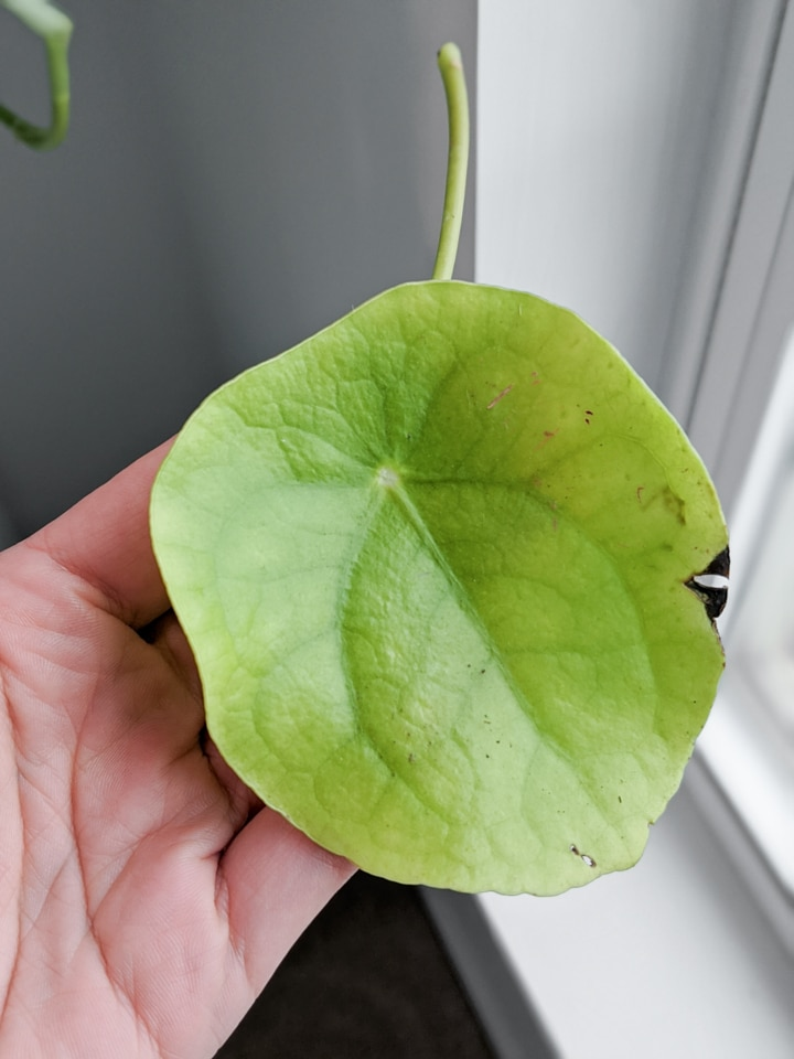 Damaged Pilea Peperomioides leaf with crispy brown spot