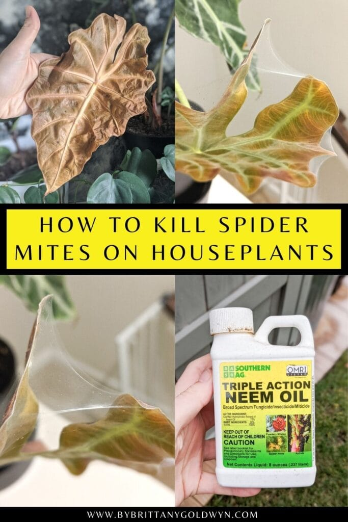 pinnable graphic with images of spider mite webbing on alocasia plants and text overlay about how to kill them