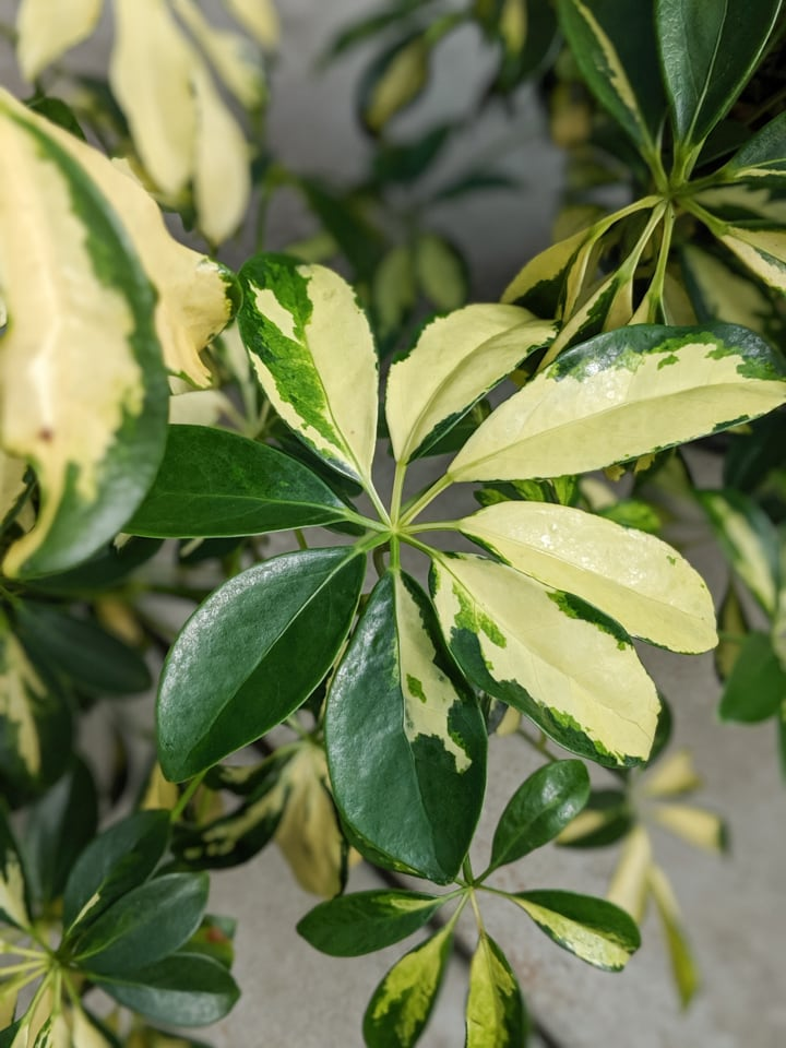 variegated yellow and green umbrella plant