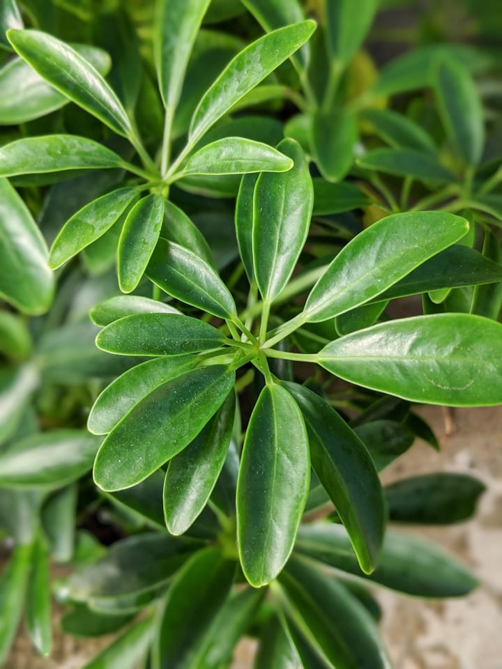 umbrella plant leaves