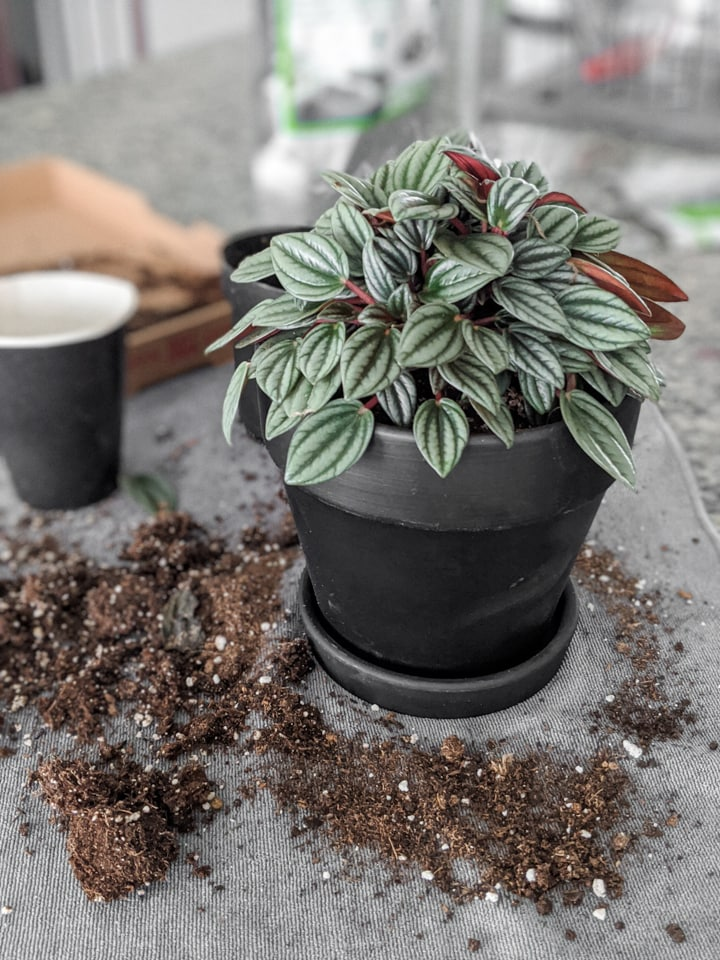 how to pot indoor plants