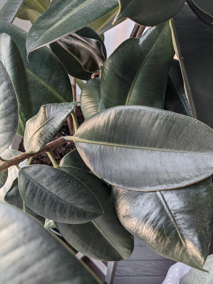 dusty rubber plant leaves