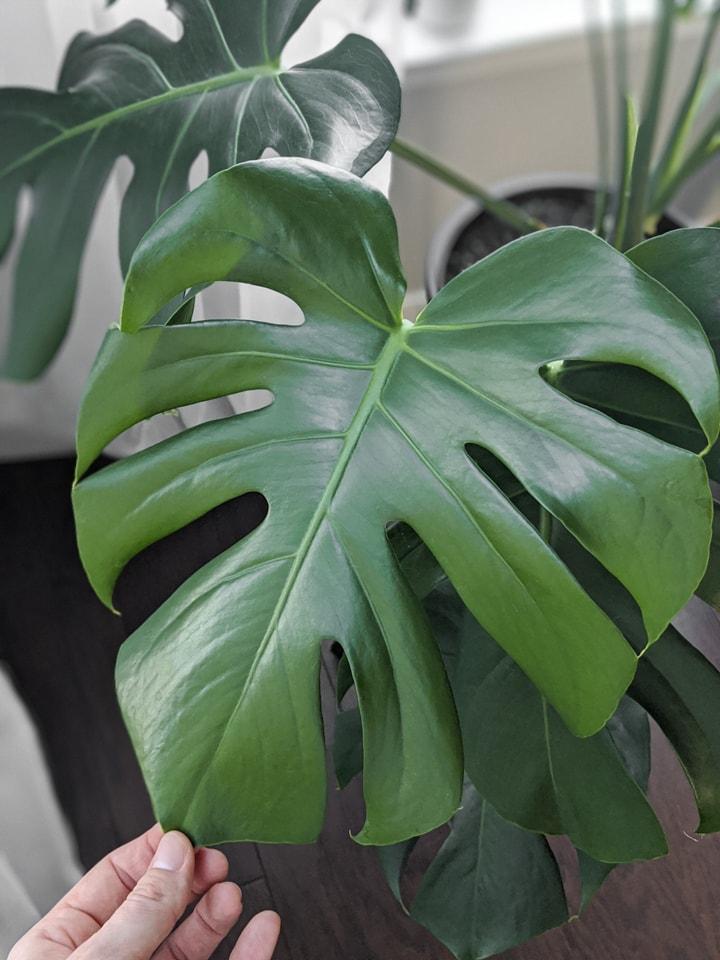 mosntera deliciosa leaf cleaned using a DIY leaf shine