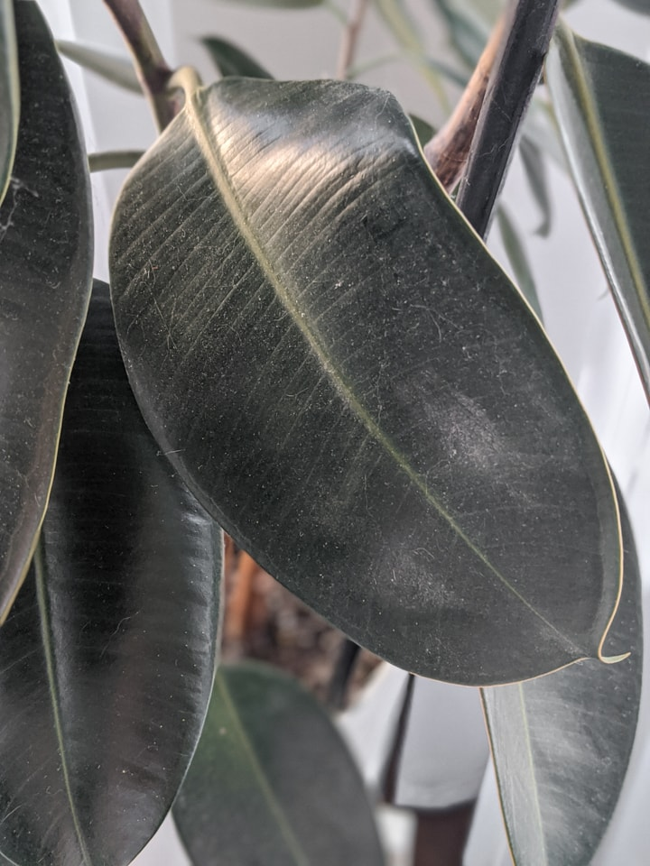 dusty rubber plant leaf