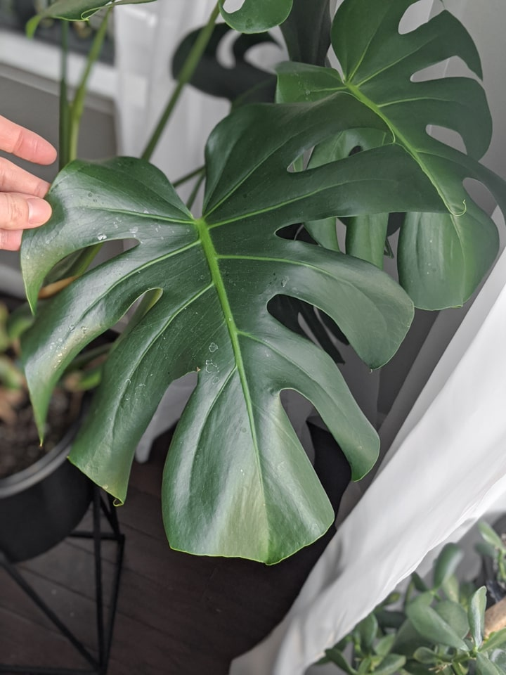 monstera leaf that needs cleaned