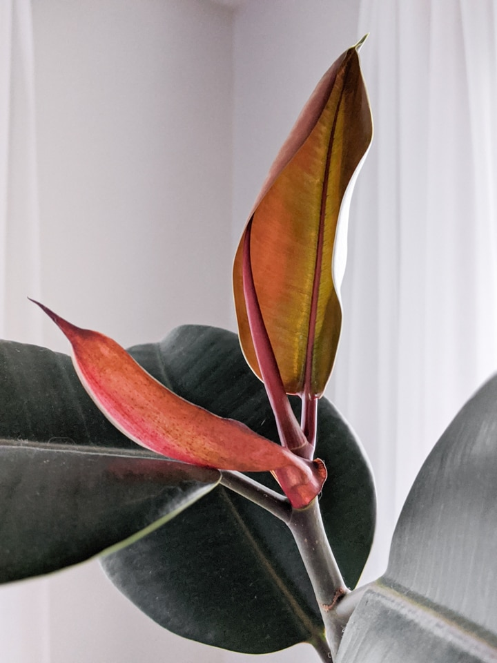 new growth on a rubber plant
