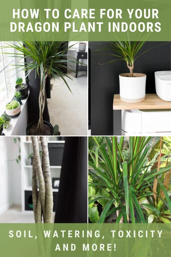 image collage of Dracaena plant with text how to care for your Dragon plant indoors, soil, watering, toxicity, and more