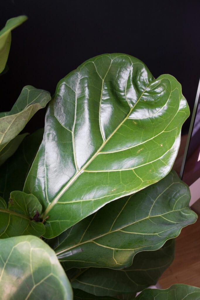 closeup of a leaf on a fiddle leaf fig