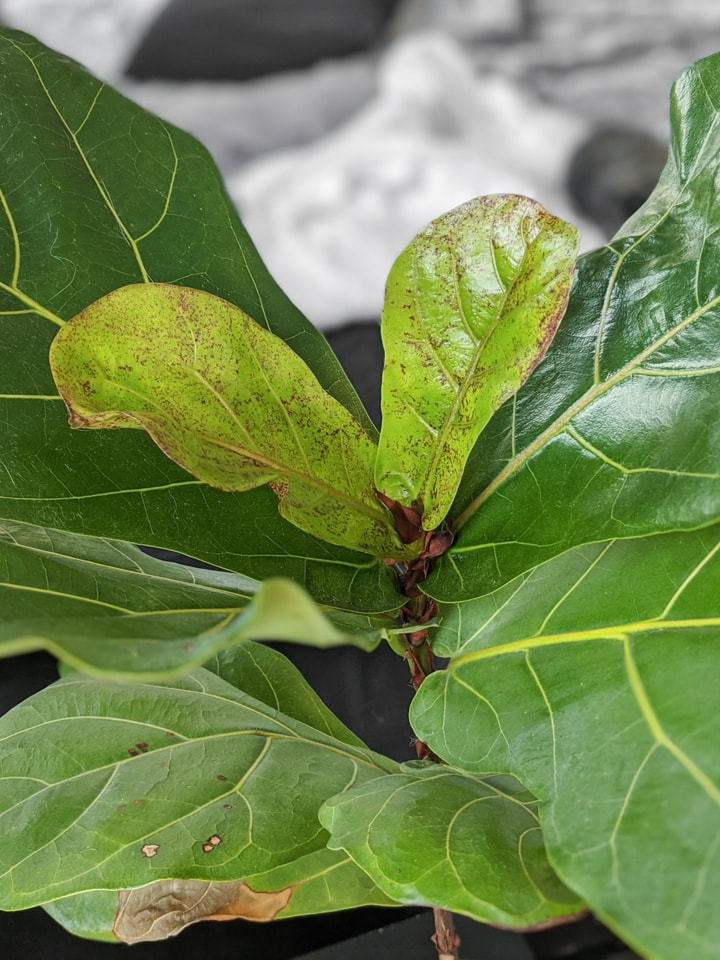 new growth on a fiddle leaf fig plant propagated from a branch