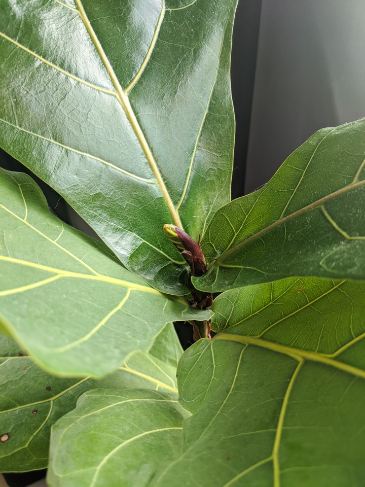 new growth sprouting on a fiddle leaf fig plant propagated from a branch