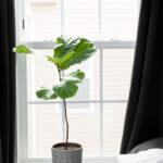 Fiddle Leaf Fig Propagation