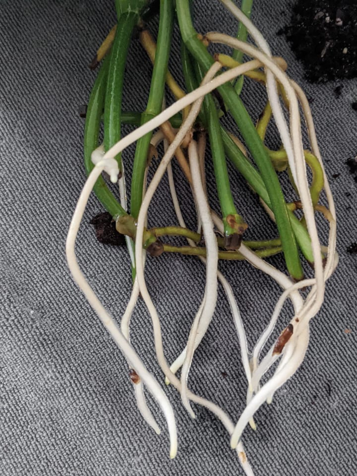 white water roots growing from pothos stem cuttings