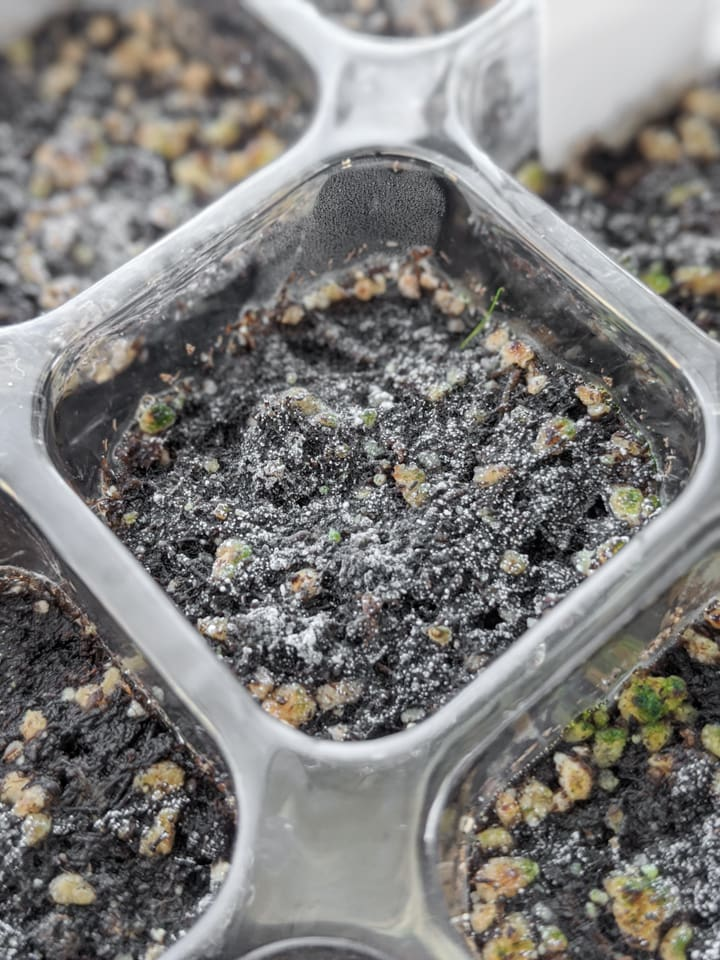 mold growing on seedling tray