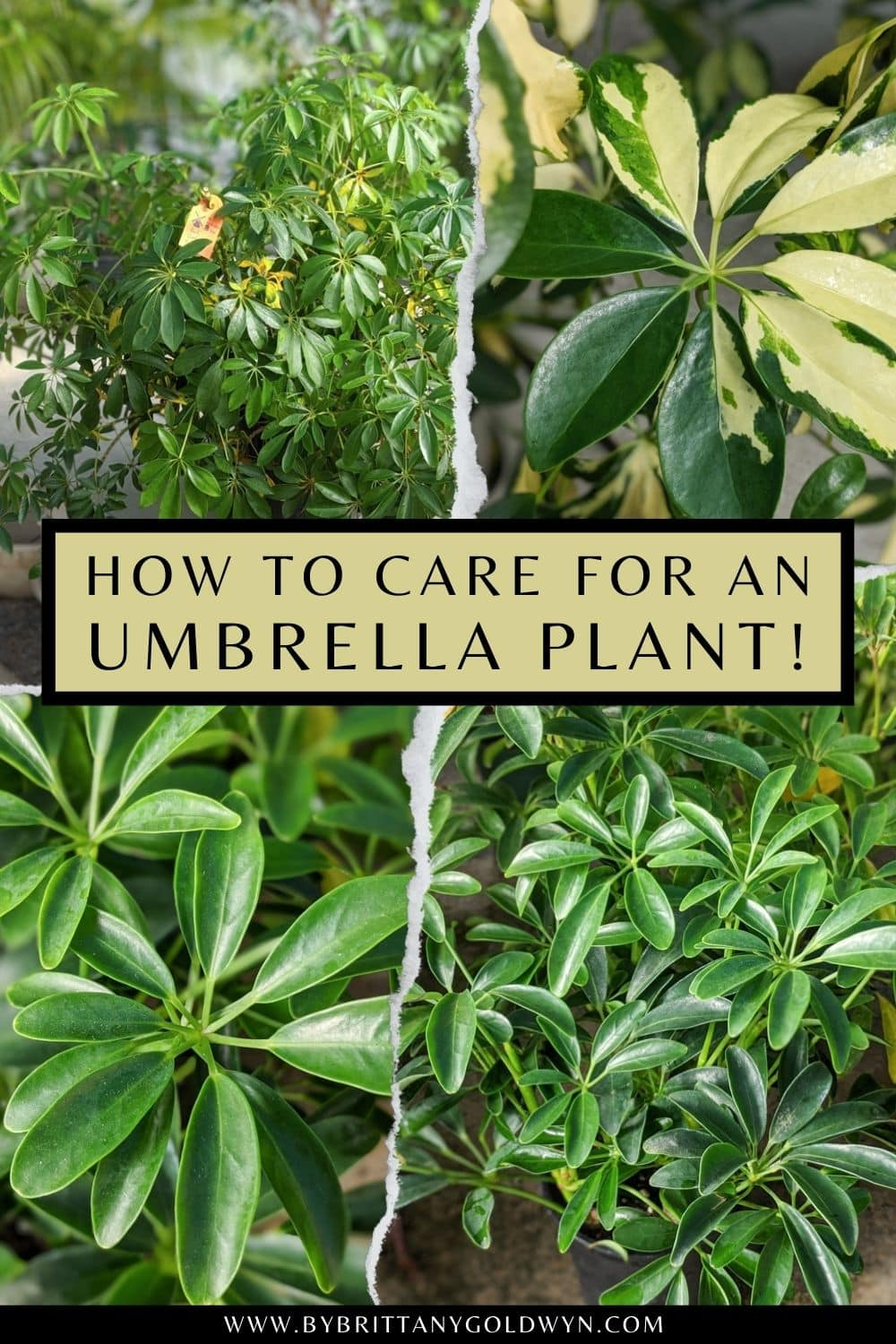 pinnable graphic with pictures of an umbrella plant and text overlay about caring for your umbrella plant