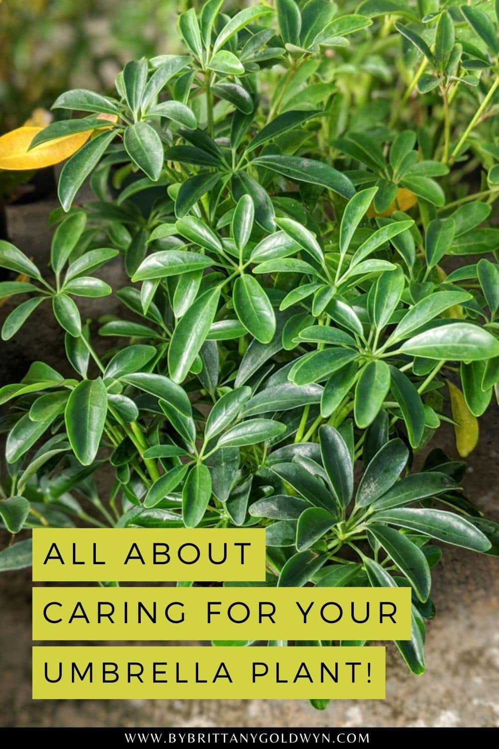 pinnable graphic with picture of an umbrella plant and text overlay about caring for your umbrella plant