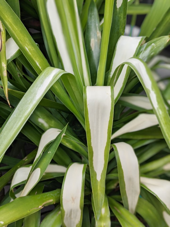 damaged yucca cane leaves