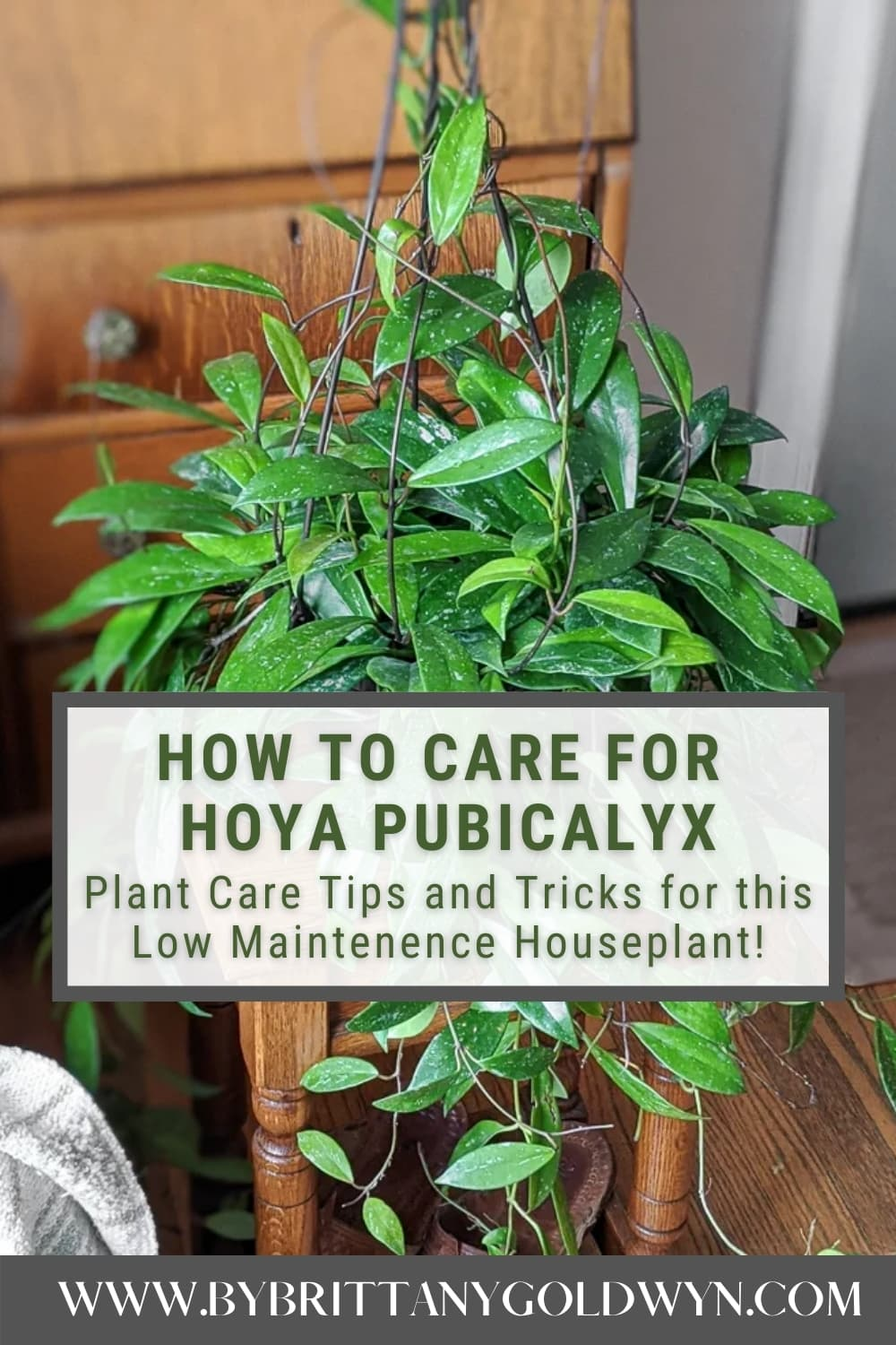 Image of Hoy Pubicalyx plant with text overlay