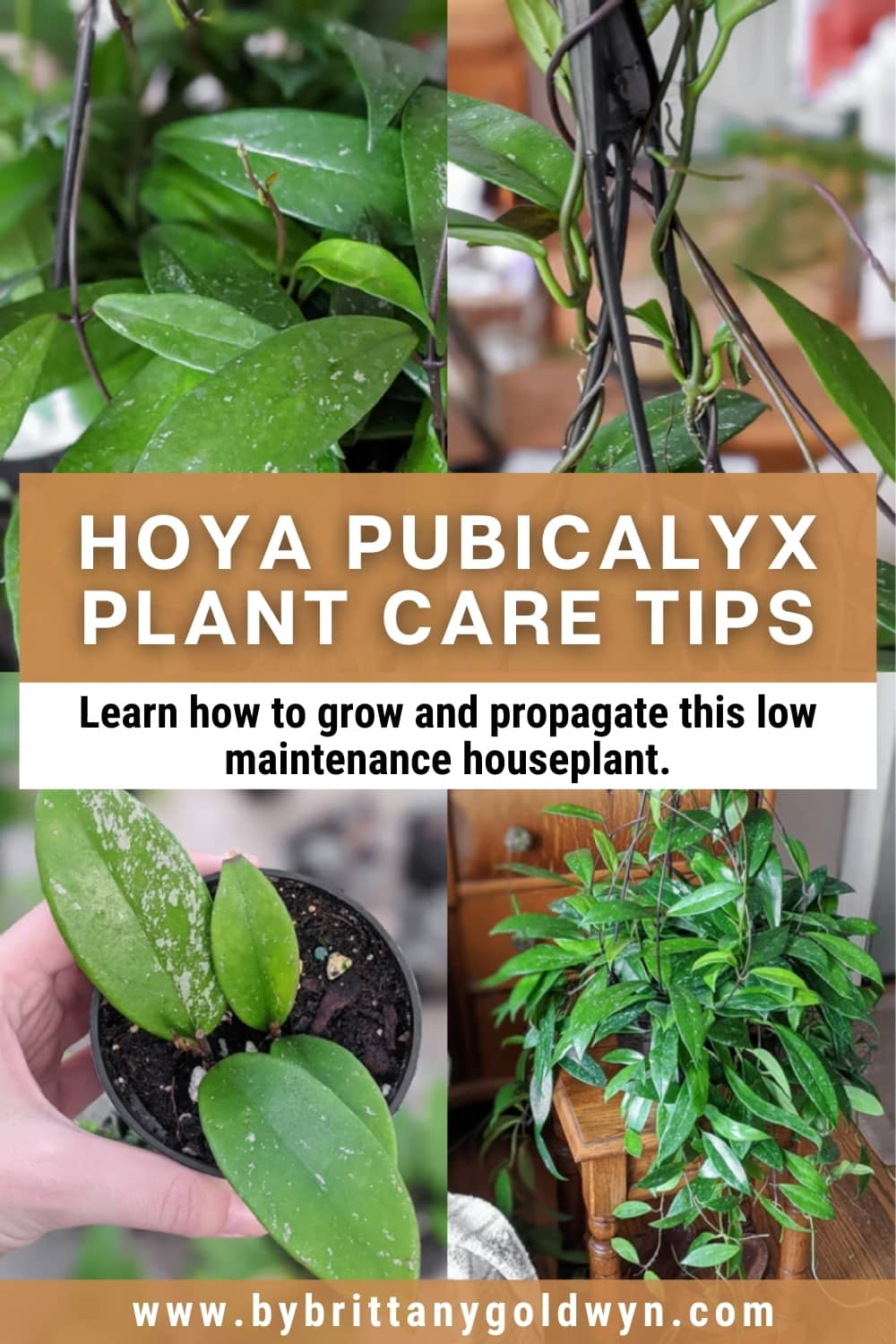 image collage of hoya pubicalyx plants with text overlay on plant care tips