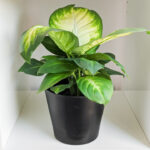 Dumb Cane Care