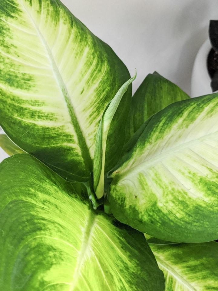 new leaf unfurling on a dumb cane plant