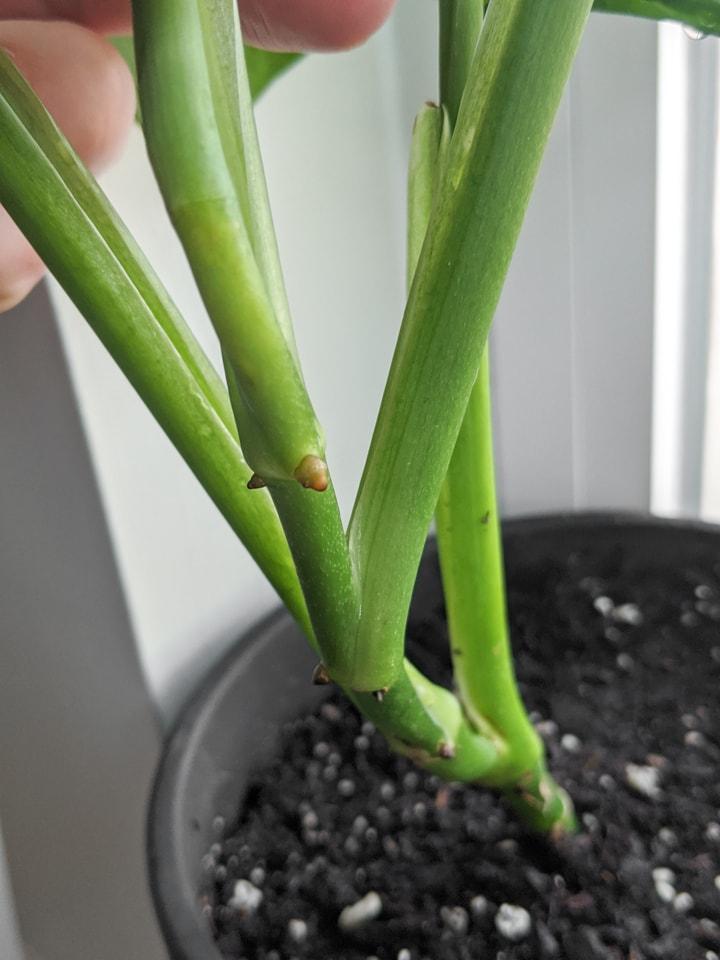 node on a Monstera Adansonii plant
