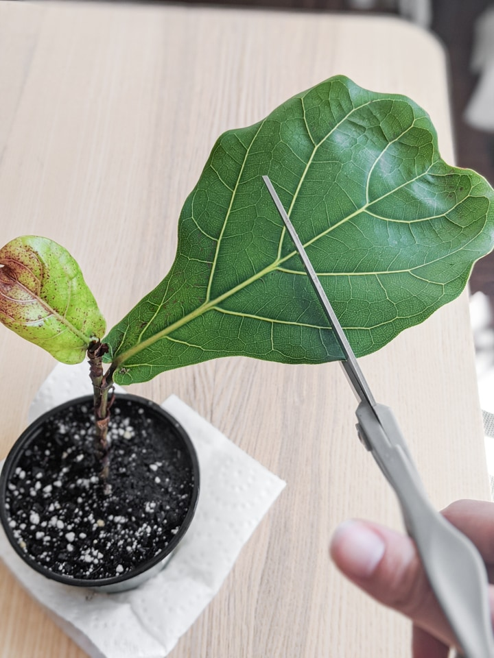 fiddle leaf fig cutting planted in soil