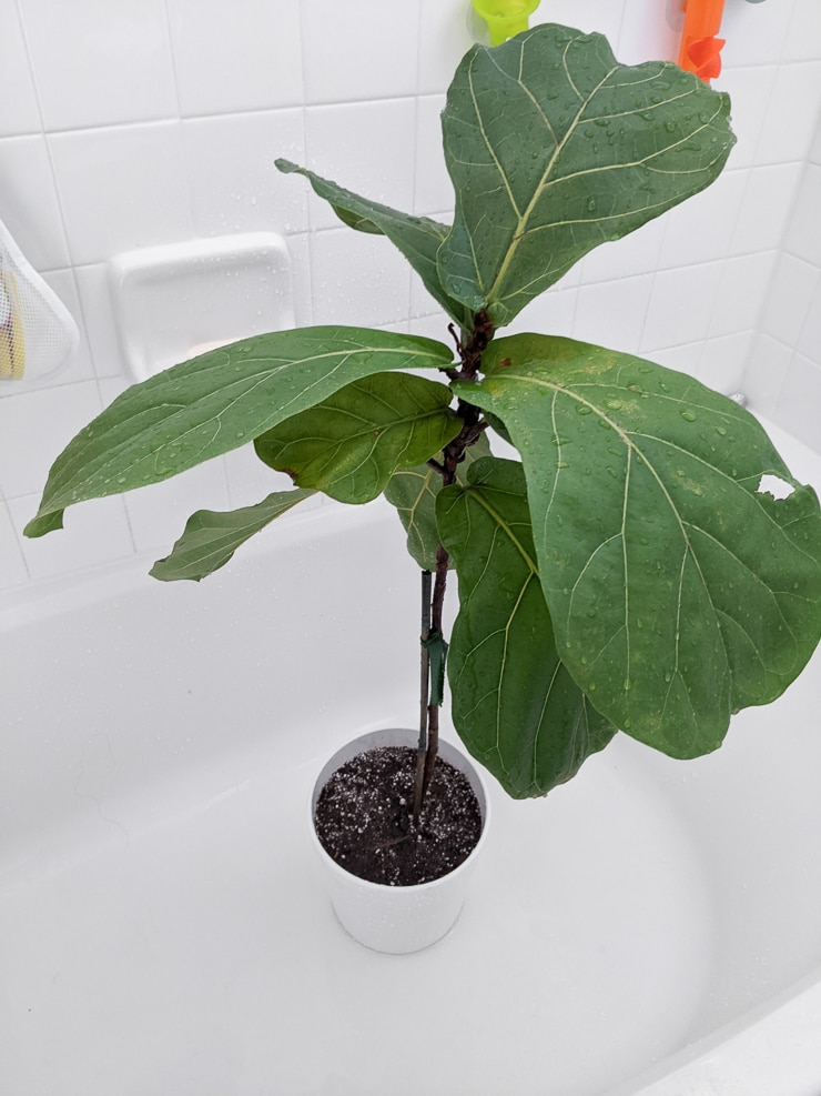 watering a fiddle leaf fig plant in the shower