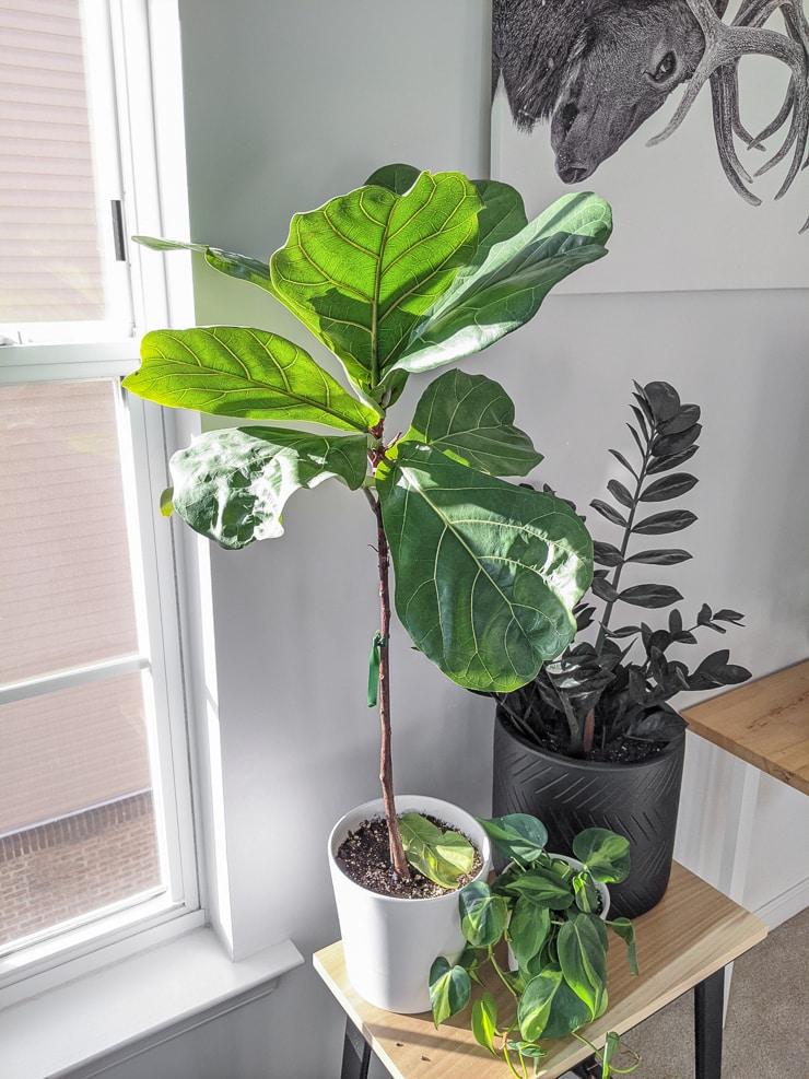 beautiful fiddle leaf fig propagation