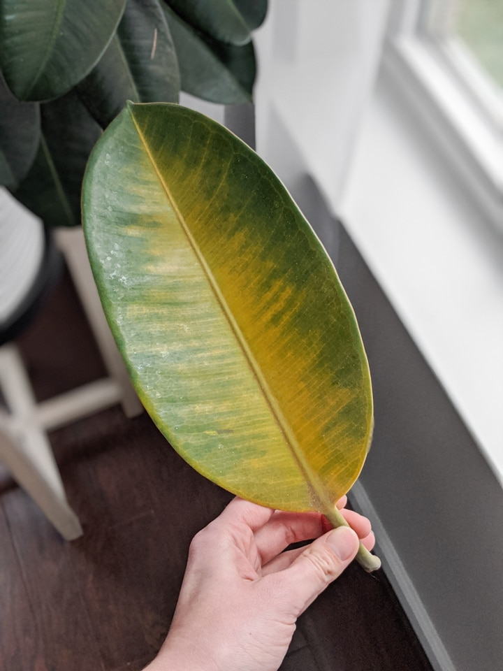 yellowing rubber plant leaf
