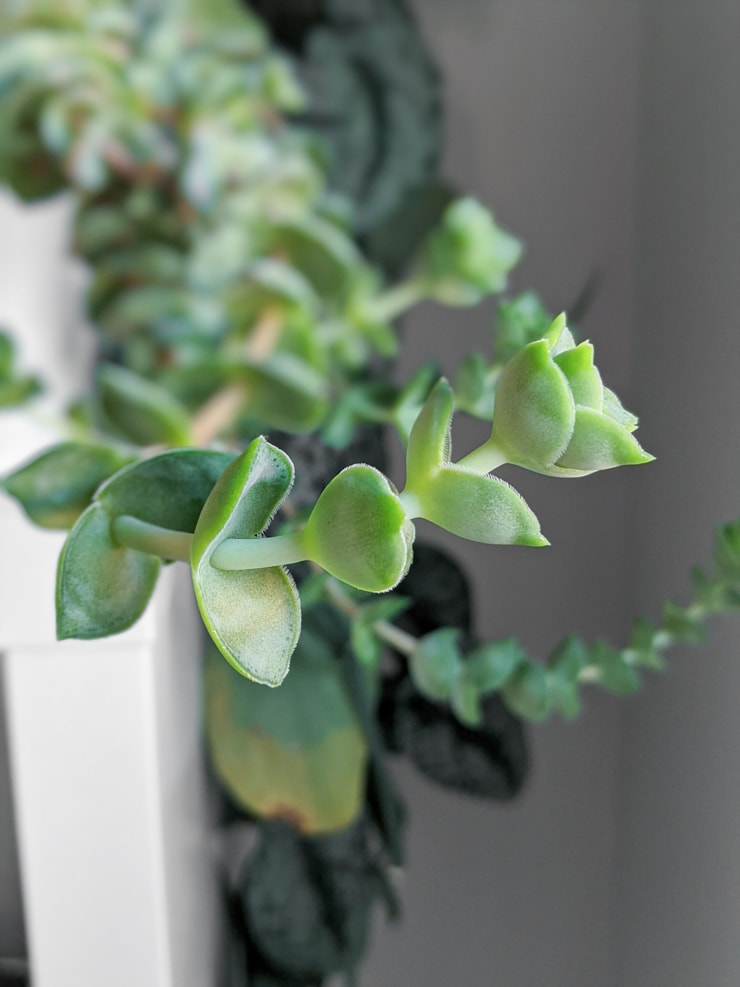 crassula succulent reaching toward the light