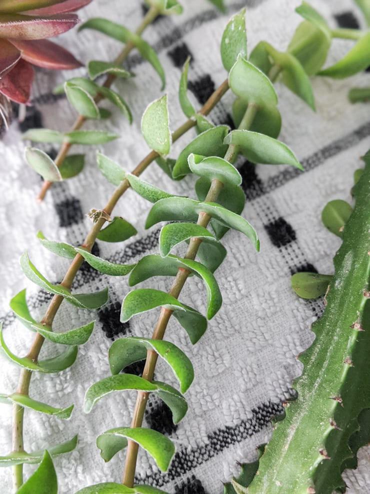 succulent stretching on the stem