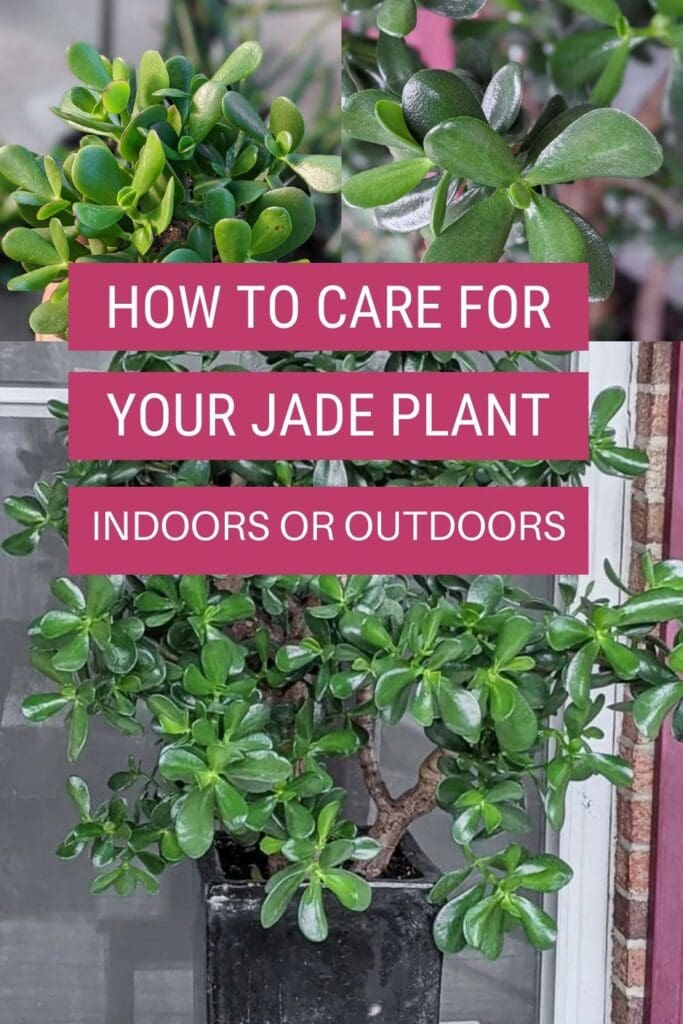 image collage of jade plants with text overlay