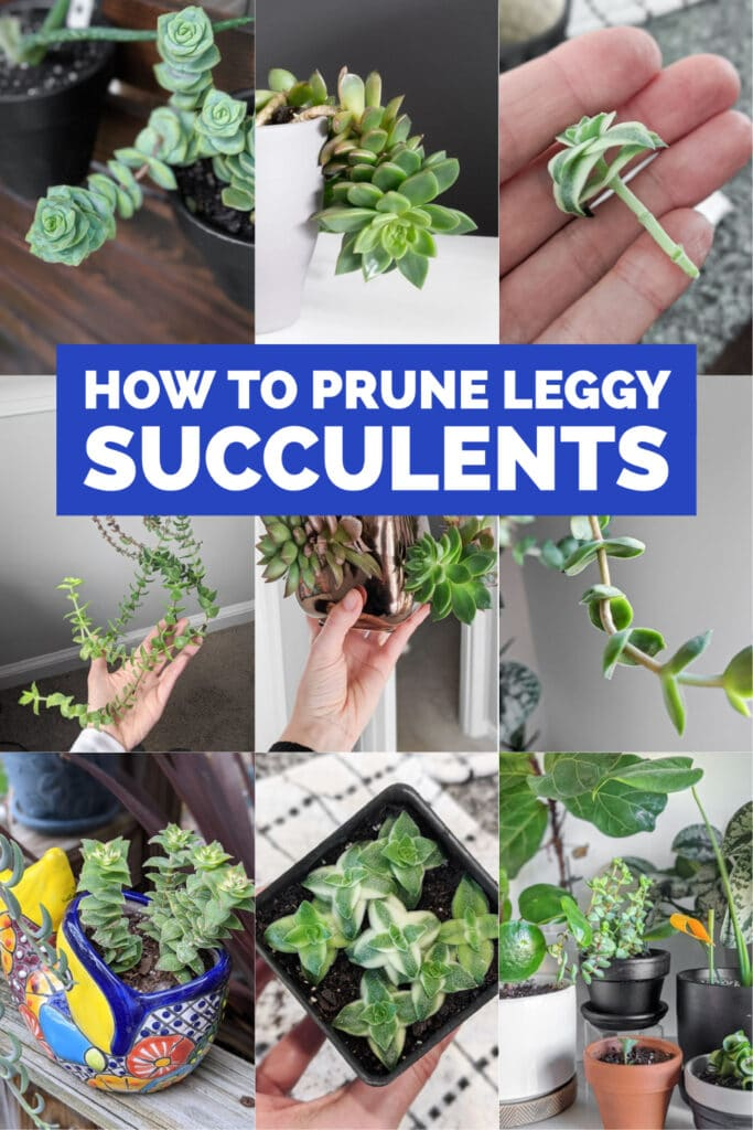image collage of succulent stretching with text How to Prune Leggy Succulents