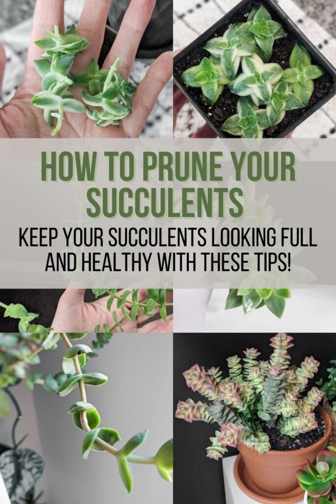 image collage of succulent stretching with text how to prune your succulents keep your succulents looking full and healthy with these tips
