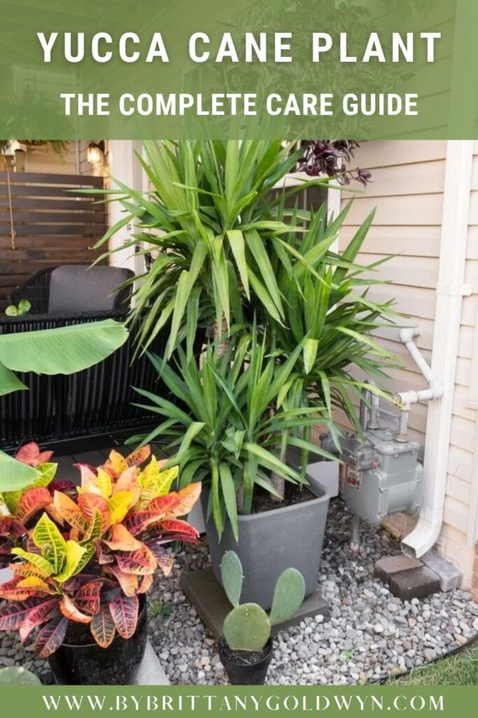 yucca cane plant on porch with other plants with text overlay