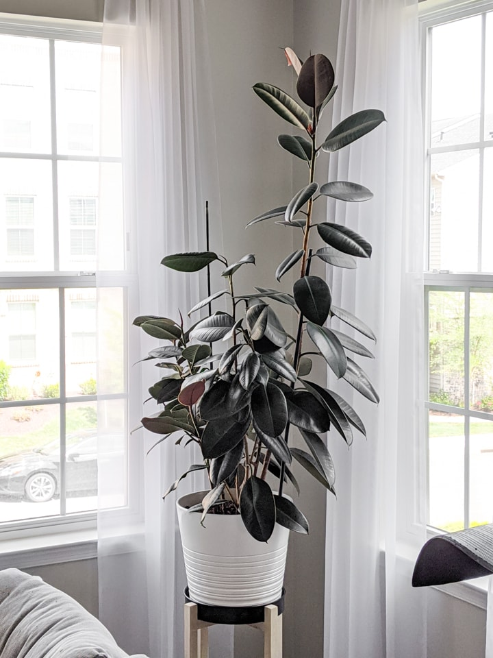 How to Care for a Rubber Plant: Rubber Tree Care