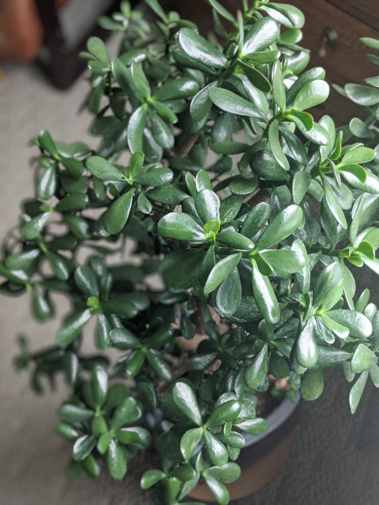 beautiful large jade plant