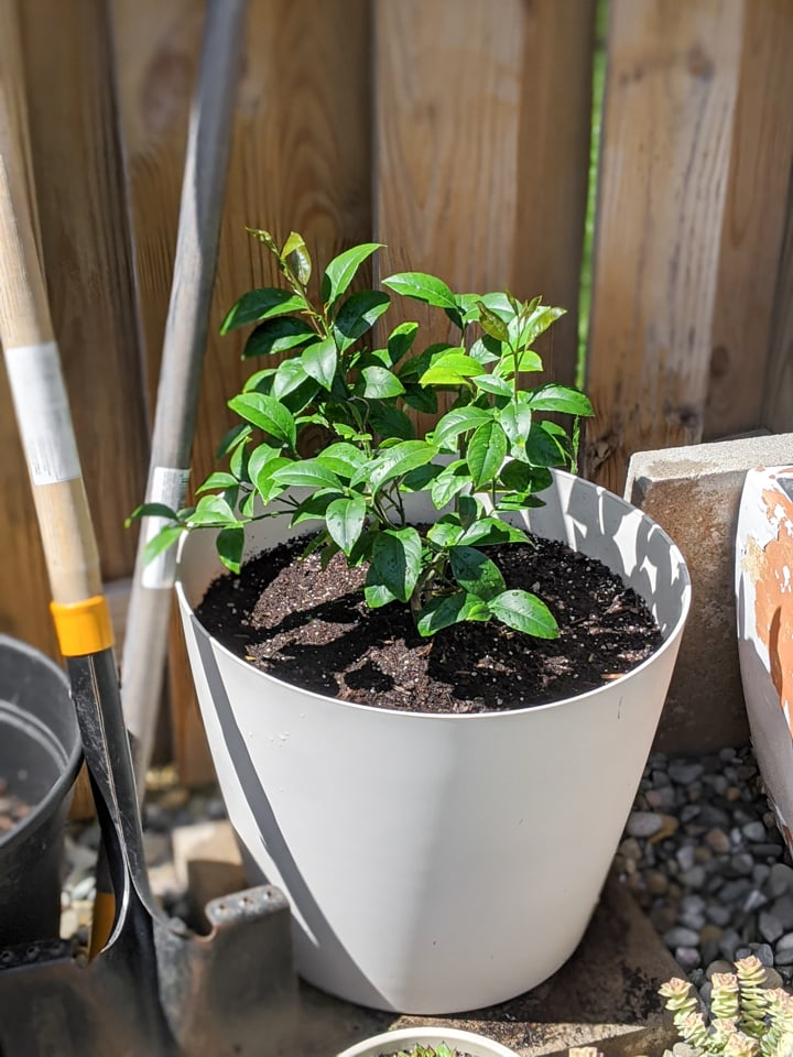 potted meyer lemon bush