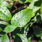 Meyer Lemon Tree Care