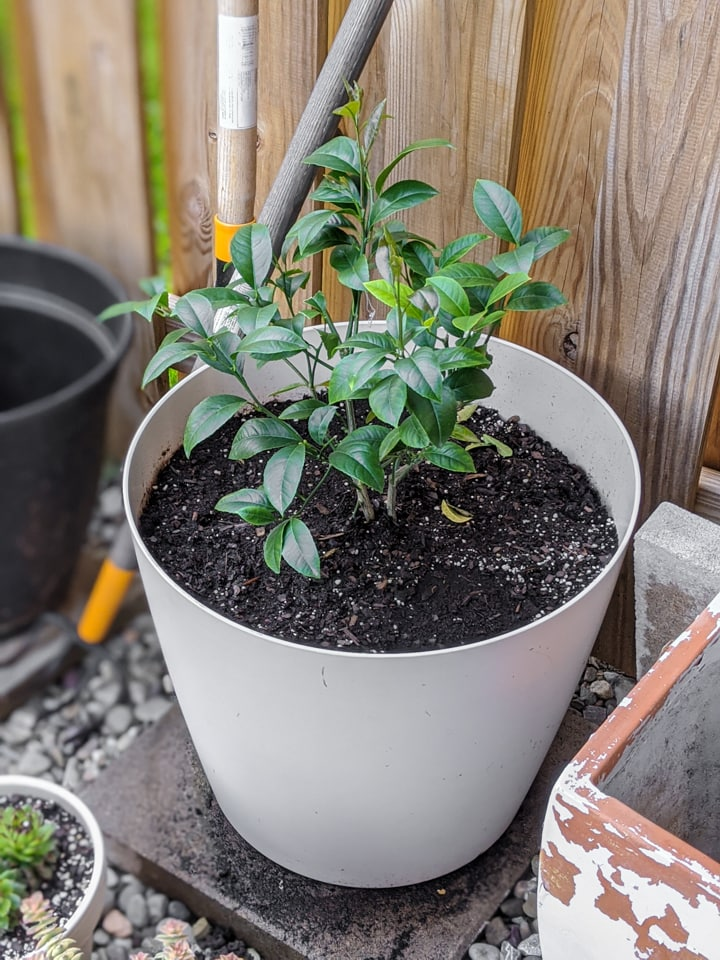 potted meyer lemon tree