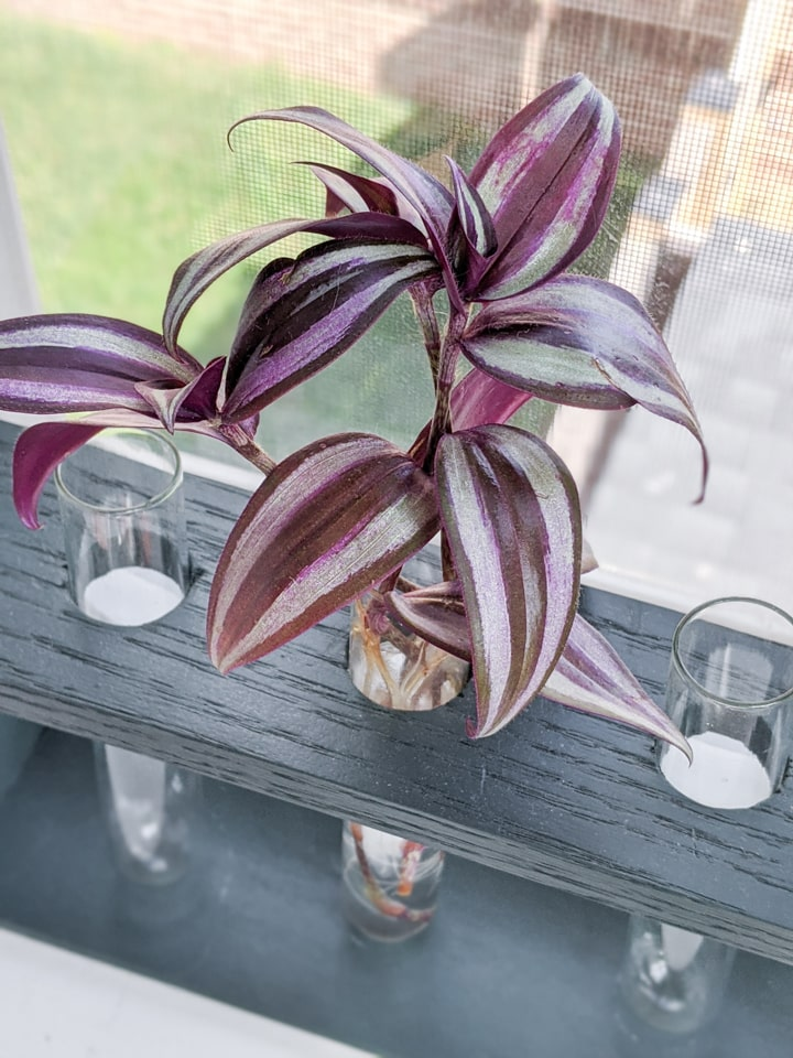 how to propagate a wandering jew plant