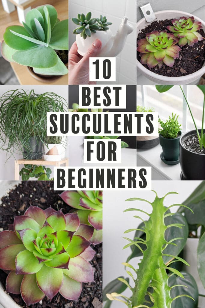 image collage of best succulents for beginners with text 10 best succulents for beginners